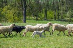 Schafherde auf einer Frühlingswiese Stockbild