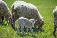 Schafherde auf einer Frühlingswiese Stockfotos