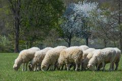 Schafherde auf einer Frühlingswiese Lizenzfreies Stockfoto