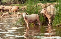 Schafherde auf einer Wasserstelle Trinkwasser der Schafe auf Lizenzfreie Stockfotos