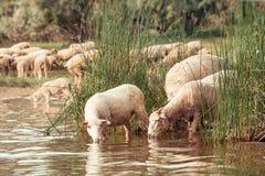 Schafherde auf einer Wasserstelle Trinkwasser der Schafe auf Stockbild