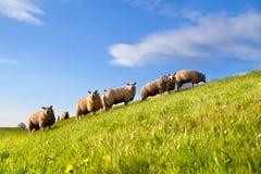 Schafherde auf grüner sonniger Weide Stockfotos