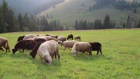 Schafherde auf Wiese in den Bergen stock video footage