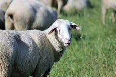 Schafherde biologisch gehalten in einer Wiese Stockfotos