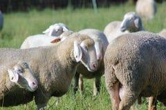 Schafherde biologisch gehalten in einer Wiese Lizenzfreie Stockfotos