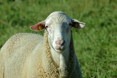 Schafherde biologisch gehalten in einer Wiese Lizenzfreie Stockbilder