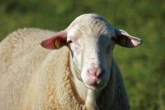 Schafherde biologisch gehalten in einer Wiese Stockbilder