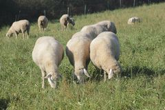 Schafherde biologisch gehalten in einer Wiese Stockbild
