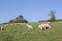 Schafherde biologisch gehalten in einer Wiese Lizenzfreie Stockfotografie