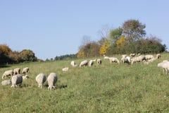 Schafherde biologisch gehalten in einer Wiese Lizenzfreies Stockfoto