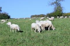 Schafherde biologisch gehalten in einer Wiese Stockfoto