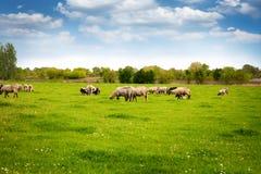 Schafherde in der Weide über blauem Himmel Stockfotografie