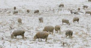 Schafherde, die auf dem Gebiet im Schnee einzieht Stockbild