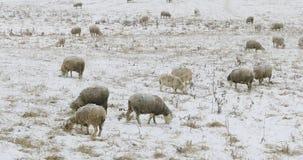 Schafherde, die auf dem Gebiet im Schnee einzieht Stockfoto