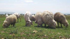Schafherde, die auf einem Feld gegen den Hintergrund der Berge weiden lässt stock video