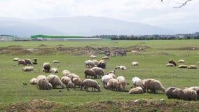 Schafherde, die auf einem Feld gegen den Hintergrund der Berge weiden lässt stock video footage