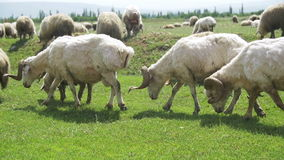 Schafherde, die auf einem Feld gegen den Hintergrund der Berge weiden lässt Langsame Bewegung stock footage