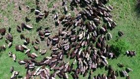Schafherde, die auf Feld weiden lässt stock video footage