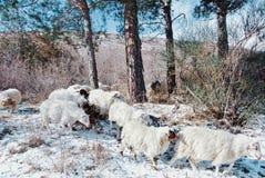 Schafherde, die durch den Kiefernwald in den Bergen läuft Lizenzfreie Stockbilder