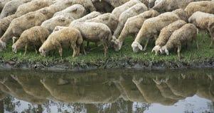 Schafherde, die am Flussufer trinkt Lizenzfreie Stockfotos