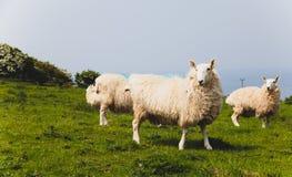 Schafherde hielt biologisch in einer Wiese in der Landschaft Grünfelder in den Bergen mit dem Weiden lassen von Schafen und von b Stockfoto