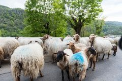Schafherde im Nationalpark Picos de Europa stockfoto