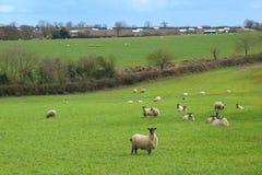 Schafherde lassen auf einem Ackerland weiden Lizenzfreie Stockfotos