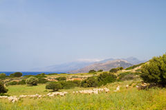 Schafherde nahe dem Meer Lizenzfreie Stockfotografie