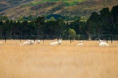 Schafherde, Neuseeland Stockbilder