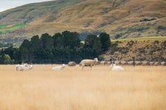 Schafherde, Neuseeland Stockfotografie