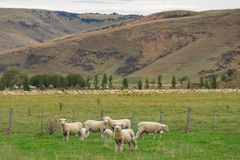 Schafherde, Neuseeland Lizenzfreie Stockfotos