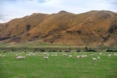 Schafherde, Neuseeland Lizenzfreies Stockbild