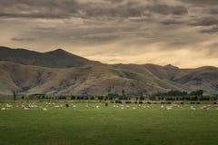 Schafherde, Neuseeland Stockfotos