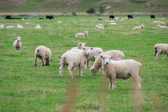 Schafherde, Neuseeland Stockbild