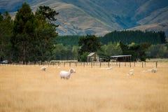 Schafherde, Neuseeland Lizenzfreie Stockfotografie