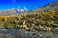 Schafherde, Trinkwasser im streem, Park Gran Paradiso Nationl, Italien Schöne Landschaft mit ble Himmel in der Alpe, Europa MO Stockfotografie