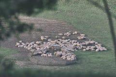 Schafherde und Lämmer auf einem grünen Gebiet Lizenzfreies Stockfoto