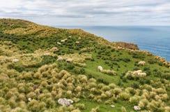 Schafherden lassen auf den Gebieten mit großartigen Meerblicken weiden Stockfotografie