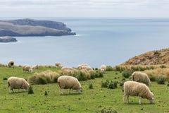 Schafherden lassen auf den Gebieten mit großartigen Meerblicken weiden Lizenzfreie Stockfotografie