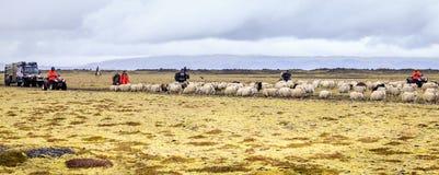 Schafin herden leben Lizenzfreies Stockfoto