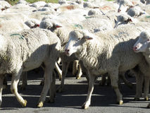 Schafmenge Lizenzfreie Stockfotos