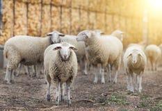 Schafmenge auf dem Bauernhof Lizenzfreies Stockbild
