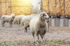 Schafmenge, die auf Ackerland steht Lizenzfreies Stockfoto