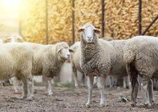 Schafmenge, die auf Ackerland steht Stockfotografie
