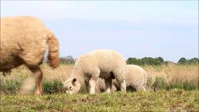 Schafmutterschaf mit den Lämmern, die auf Graben gehen stock video