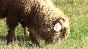 Schafnahaufnahme beim Weiden lassen stock video footage