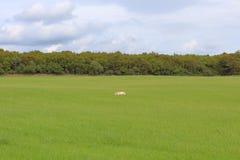 Schafrest auf dem Feld lizenzfreies stockfoto