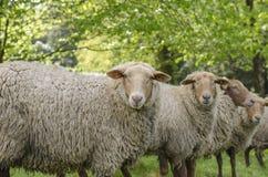 Schafschauen Lizenzfreie Stockbilder