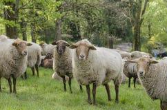 Schafschauen Lizenzfreies Stockfoto