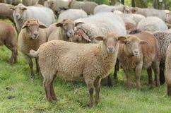 Schafschauen Lizenzfreies Stockbild